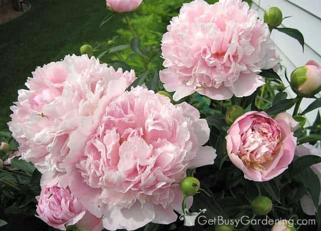 My beautiful light pink peonies