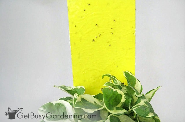 Use houseplant sticky stakes to kill flying aphids