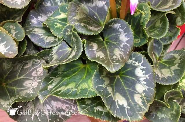 Cyclamen has gorgeous foliage