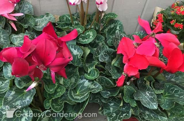 Gorgeous red cyclamen plant