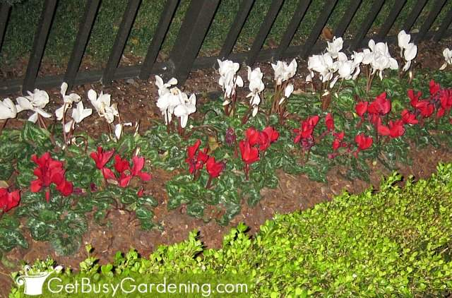 Growing cyclamen outdoors
