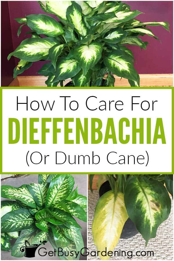 How To Care For Dieffenbachia (Dumb Cane)