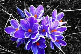 plant-flower-purple-petal-contrast-flora-wildflower-crocus-flowering-plant-land-plant-iris-family-712874