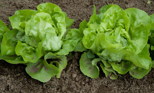 two heads of lettuce growing in the ground