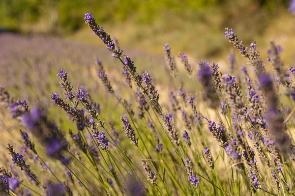 French lavender growing in a field