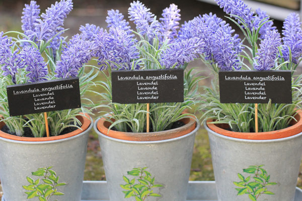English lavender in pots