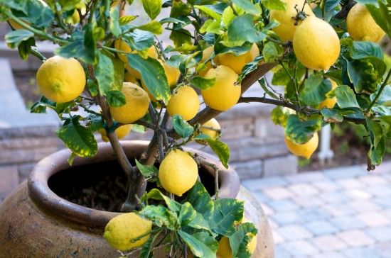 How To Grow Lemon Tree in Pot