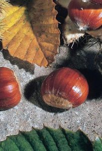 How to Grow Sweet Chestnuts