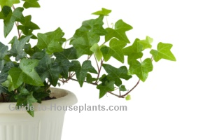 common house plants, english ivy, ivy houseplant