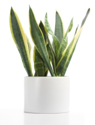 snake plant, mother-in-law
