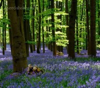 A deep blue carpet of bluebells is an unforgettable sight to anyone visiting a British woodland.