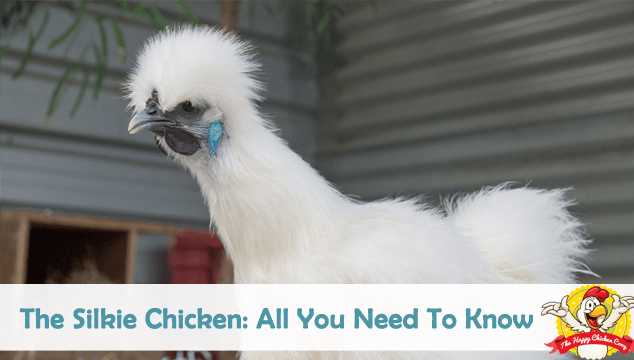 The Silkie Chicken All You Need To Know Blog Cover